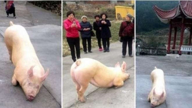 INCREDIBIL. Un porc a scapat de la abator ca sa mearga sa se INCHINE la TEMPLU! VIDEO FABULOS