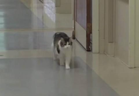 Aceasta pisica apare doar cand cineva e pe moarte! Doctorii nu au nicio explicatie: uite ce face cand apare pe holuri
