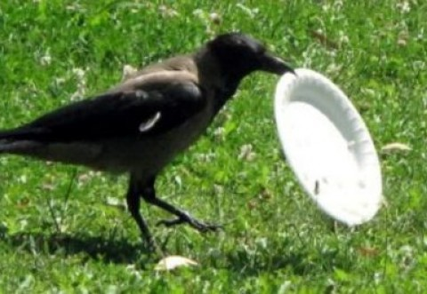 Video inedit: O… cioară ecologistă face curățenie și duce gunoiul la coșul de gunoi. Un model de civilizație! ;)