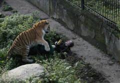Scena îngrozitoare în care un tigru siberian o sfâșie pe o îngrijitoare din Rusia