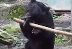 Moș Martin karatistul. Un URS de la ZOO știe KUNG FU (VIDEO VIRAL)