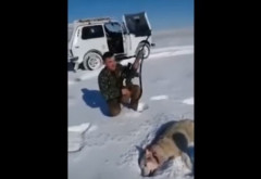 VIDEO VIRAL FABULOS! Un lup împușcat s-a prefăcut mort și a atacat un vânător