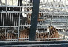 Bărbat, atacat de 13 tigri care i-au sfâșiat brațele. Greșeala comisă
