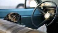 AVERTISMENT. Un câine poate MURI în 20 de minute dacă este lăsat închis în maşină în zilele călduroase