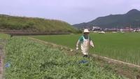 CIUDĂŢENIA SUPREMĂ! Cum arată PEPENII japonezi. VIDEO