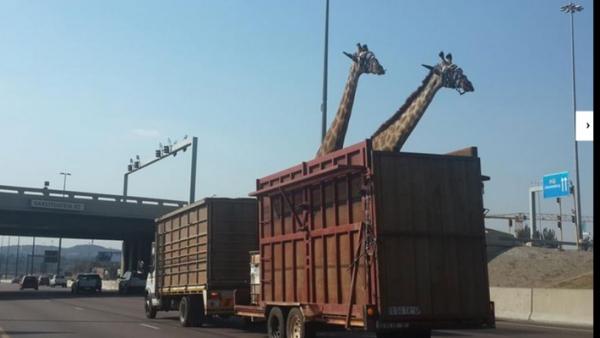 Un şofer de camion a uitat că transportă girafe şi a trecut pe sub un pod. Ce a urmat este groaznic FOTO