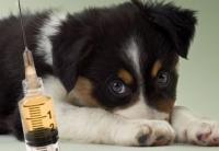 Vaccinarea câinelui. Ce vaccin, cum, când, cât şi de ce?