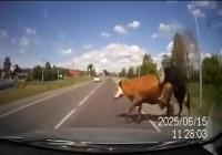 Numai in Rusia se poate intampla asa ceva – o masina loveste doua vaci aflate in timpul unei partide de amor (video)
