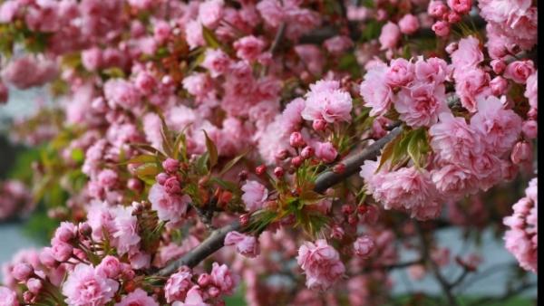 Sărbătoarea Floriilor vine cu TEMPERATURI DE IUNIE. Vezi PROGNOZA METEO pentru toată săptămâna