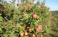 """Șotrile: A furat, """"de pofta""""... 145 kg de mere!"""