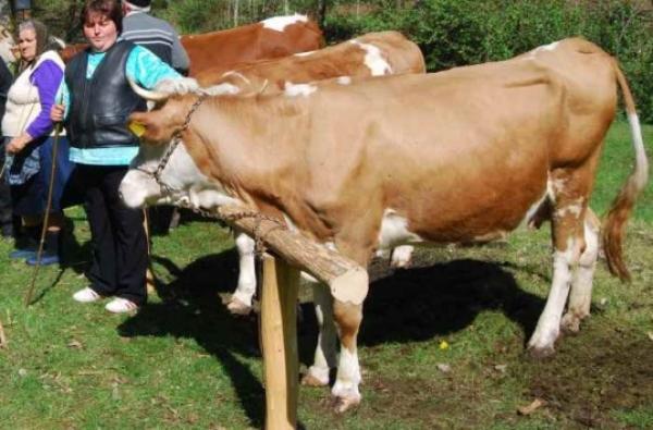 Ponta: Se reiau subvenţiile pentru 10.000 de crescători de animale