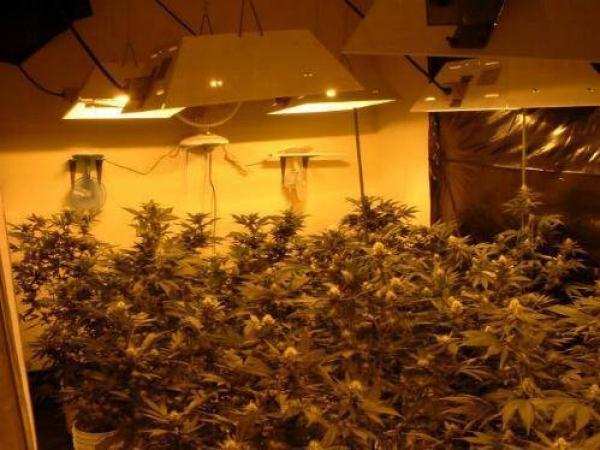 VIDEO Fabulos! Cultura de cannabis, descoperita de politistii prahoveni intr-o locuinta