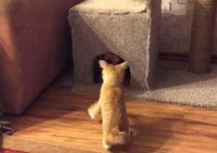 VIDEO VIRAL!!! Cum goneşte o mâţă nebună un şoricar din căsuţa lui! =))))))