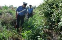 Plantatie de cannabis, descoperita langa Ploiesti. Patru traficanti au fost retinuti astazi