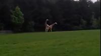 Cum arată o partidă nereuşită de sex între girafe VIDEO