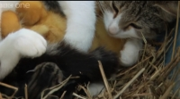 UIMITOR! O pisica a adoptat pui de rata si vrea ii alapteze langa proprii pui!!