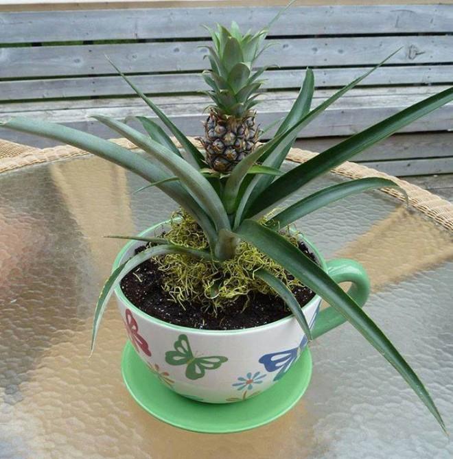 Stii cat de sanatos este ananasul. Uite cat de simplu este sa il cultivi in casa ta