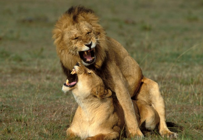 Reacția unui leu în momentul împerecherii a devenit virală
