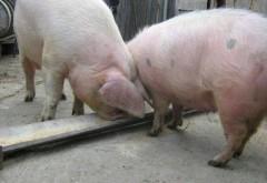 S-au urcat cu porcul in tren!!! Imagini de imagini! Ca-n Romania!!!  VIDEO ULUITOR