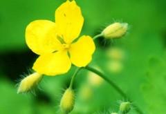 Planta MIRACULOASĂ ce tratează 150 de BOLI: vindecă CANCERUL, HEPATITA şi PANCREATITA, reduce COLESTEROLUL