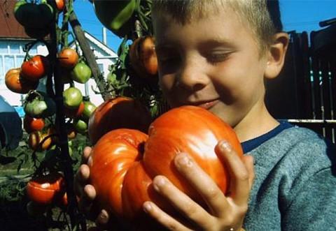 Analizele confirmă: Roșia românească – mai naturală și mai gustoasă decât tomata de import
