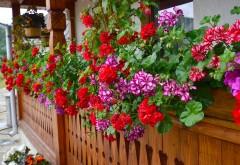 Vrei să ai MUŞCATE de invidiat în balcon? Urmează aceste sfaturi simple şi IEFTINE
