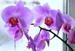 Află unde trebuie să ții orhideea ca să-ți aducă bucurii și nu ghinion!