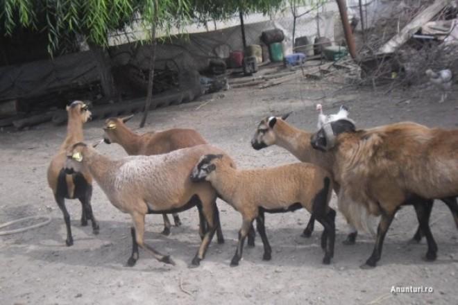 Miei, oi de Camerun şi iepuri de Paşte, de vânzare în Prahova