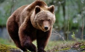Urșii au intrat în vizorul Executivului: tranchilizare sau relocare şi ca ultimă soluţie va fi folosită împuşcarea sau eutanasierea