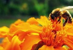 Super-alimentul oferit de albine: Efecte uimitoare ale lăptişorul de matcă asupra organismului