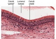 Care sunt celulele vulnerabile în fața coronavirusului, prin care acesta ne poate infecta