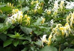 Vești bune! Planta miraculoasă care ar putea vindeca noul coronavirus. Crește și la noi! Chinezii au dat verdictul