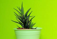 5 plante de interior care te ajută să dormi mai bine