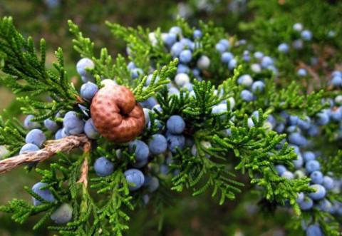 Beneficiile ceaiului de ienupăr. Ajută rinichii, digestia şi respiraţia, dar şi...