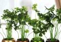 Planta-farmacie: Vara calmează muşcăturile de insecte, iarna redă sănătate căilor respiratorii