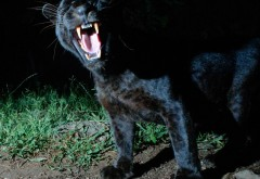 Un bărbat a plătit 150 de dolari să se joace cu un leopard negru aflat în cuşcă. Leopardul a fost de altă părere