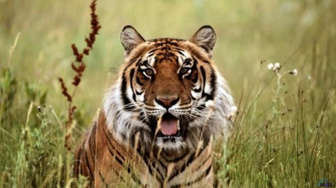 Panică la Paris! Un tigru sălbatic a scăpat pe străzi