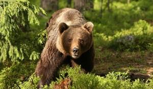 ŞOCANT! Un tânăr angajat al unei tabere de vară s-a trezit cu capul în gura unui urs
