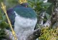 Pasărea anului 2018, un porumbel beţiv. Se îmbată zilnic, cade des din copaci şi este neîndemânatic | VIDEO