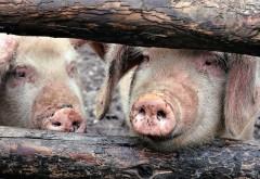 Veterinarii din ţara noastră au făcut o descoperire uriaşă pentru eradicarea pestei porcine