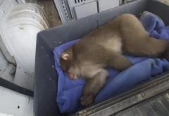 Maimuța care a pus pe jar autoritățile din Capitală a fost prinsă. Operațiunea a durat ore întregi