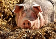 Un porc din Botoșani s-a luptat eroic pentru viața lui. I-a venit de hac chiar stăpânului care visa la cârnați