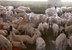 Sunt 541 de focare de pestă porcină în România. Fermierii preconizează pierderi de peste jumătate de miliard de euro