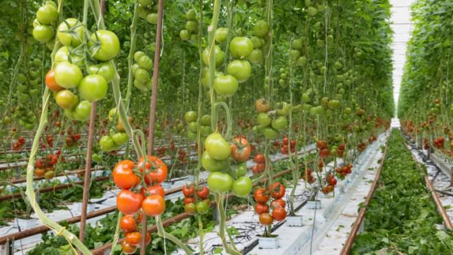 Europarlamentar austriac: Nu știu dacă ați văzut cum se cultivă roșiile în Olanda, de aceea nu au gust. Cele românești sunt fantastice!