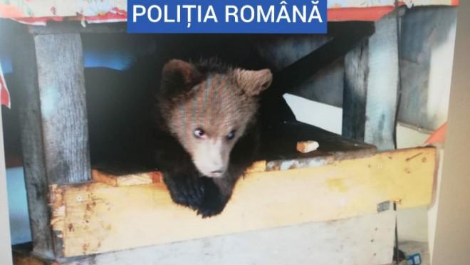 Trupele speciale au găsit un pui de urs ținut captiv de un bărbat din Borșa. Cetățeanul avea și 40 de kilograme de carne de urs