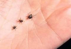 Mare atentie la capuse: Doua persoane din Arges, diagnosticate cu boala Lyme