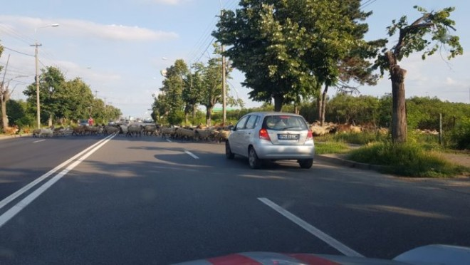 Ploiestiul Evului Mediu: Turma de oi a blocat circulatia pe cea mai circulată arteră din Ploiesti