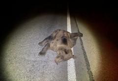 Urs lovit de masina pe DN1, la iesire din Paulesti. Animalul a decedat