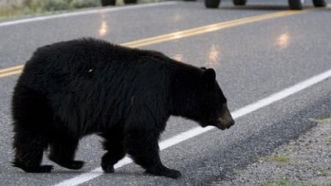 Moment de cosmar! Un sofer a intrat cu masina in plin intr-un urs, la Busteni