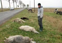 Noapte nefasta pentru animale! Doua accidente in Prahova, soldate cu moartea a 26 de oi si 3 cai